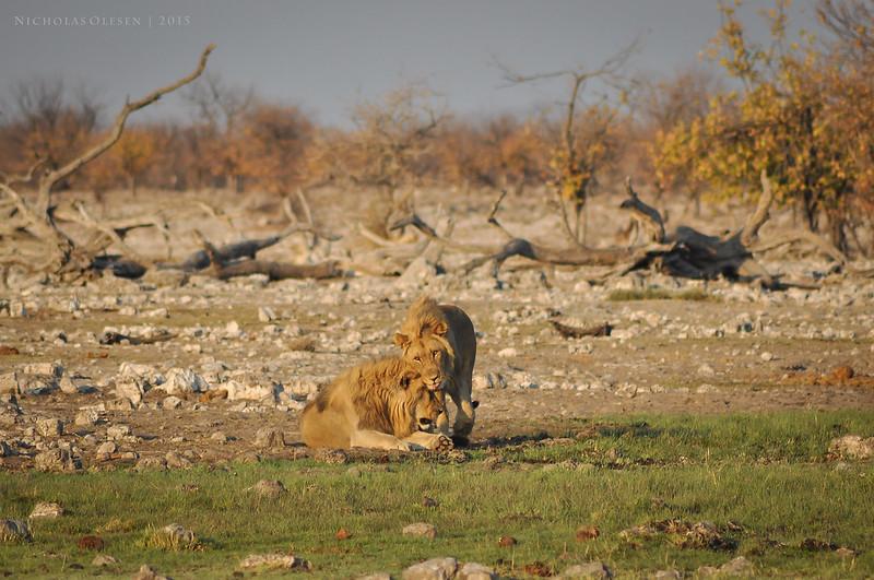 Etosha National Park - Lions