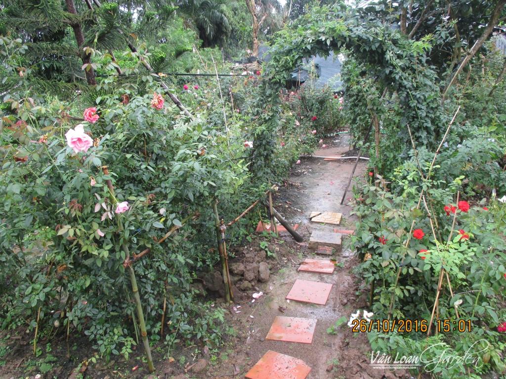 1 cổng vòm tròn được làm bằng cây hồng leo