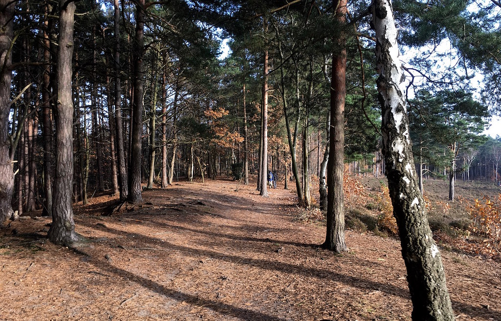 Heathland mid morning Oxshott to Ashtead walk