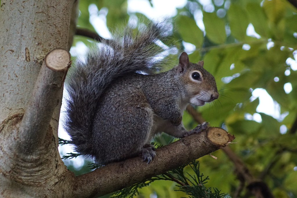 Grey Squirrel in my garden. Sony A77ii