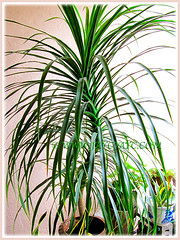 Our potted Dracaena marginata (Madagascar Dragon Tree) growing beautifully at the porch, Aug 6 2013