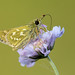 Silver-spotted Skipper Hesperia comma by Iain Leach