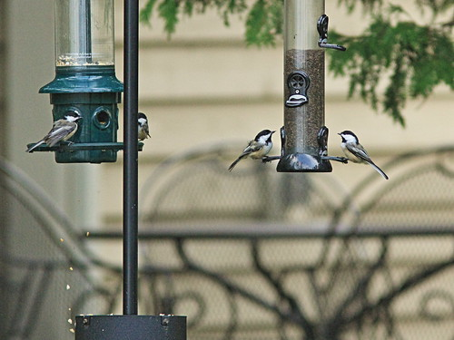 Black-capped Chickadees 20150906