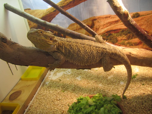 pogona vitticeps - Drago barbuto