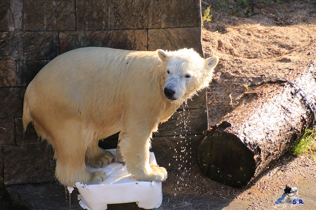 Eisbär Fiete im Zoo Rostock 26.09.2015   012