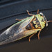 Cicada On Tire Part II by bwalk2895