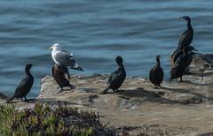 Brants and Pelgaic Cormorant