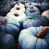 Blue and gray #pumpkins at @cheekwood.  #halloween #autumn #fall #october