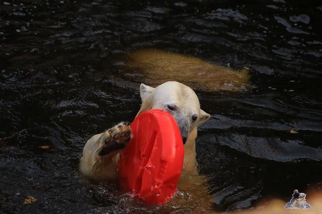 Eisbär Fiete im Zoo Rostock 31.10.2015 Teil 1  080