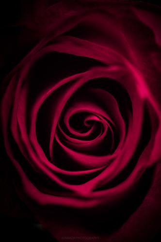 Rose // 26 11 15