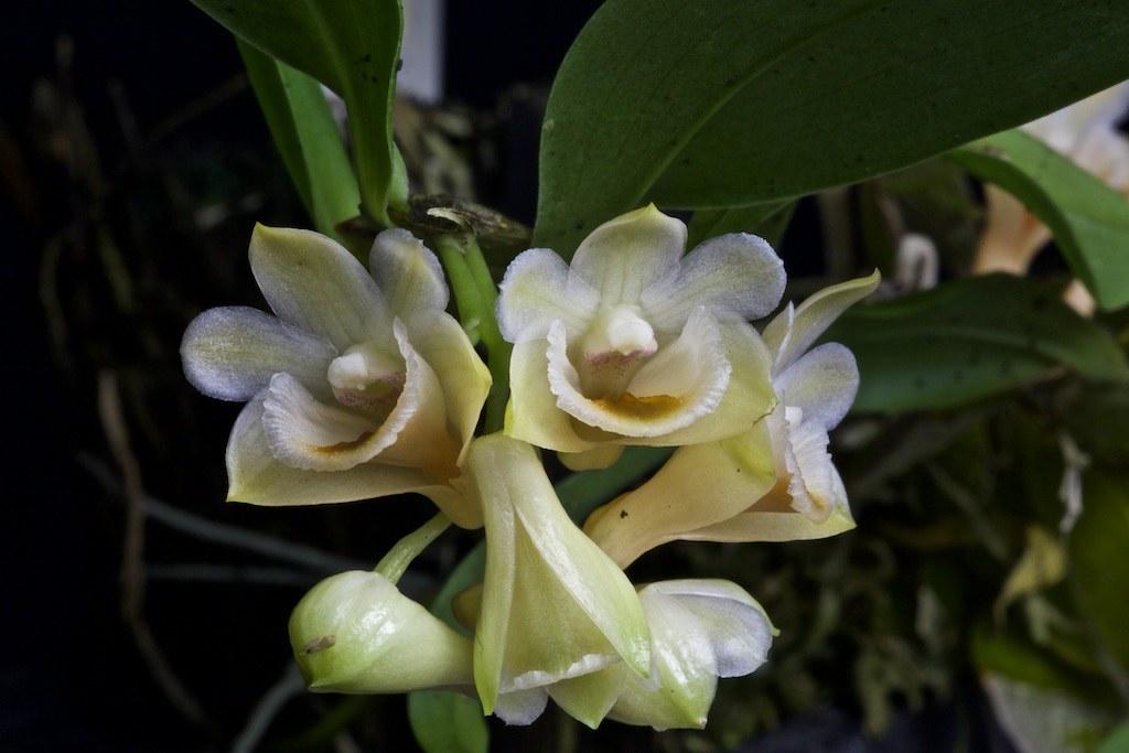 Dendrobium lamellatum 22855632852_6e6faa89d4_b