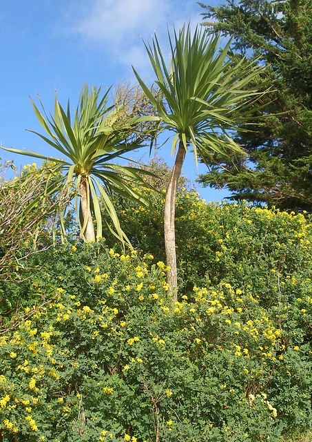 Torbay Palm and scorpion vetch
