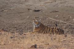 Tiger at Ranthambore National Park - DSC03963