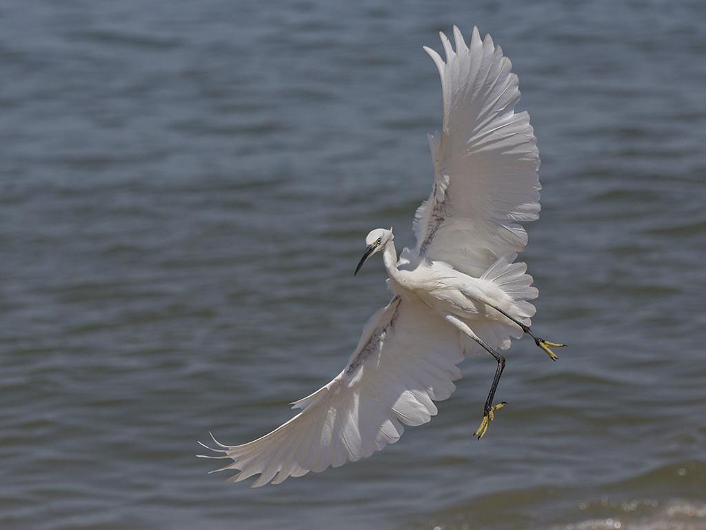 Little Egret  Sri Lanka