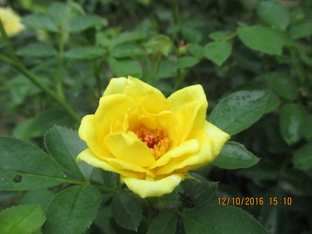 1 vài bông hoa tiểu muội vàng đã nở