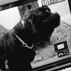#happiness is to meet a #gordeous #giant #schnauzer #giantschnauzer