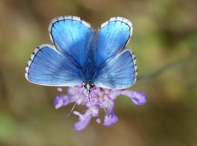 Adonis Blue (Polyommatus bellargus), Panasonic DMC-FZ330