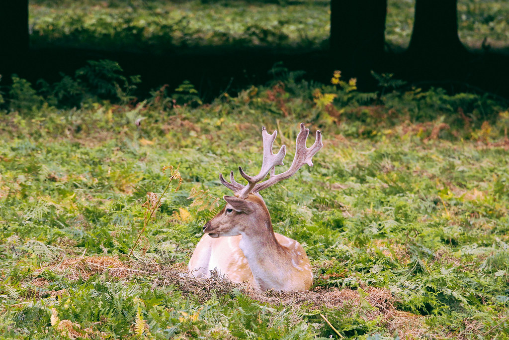 Deer of Richmond Park, London