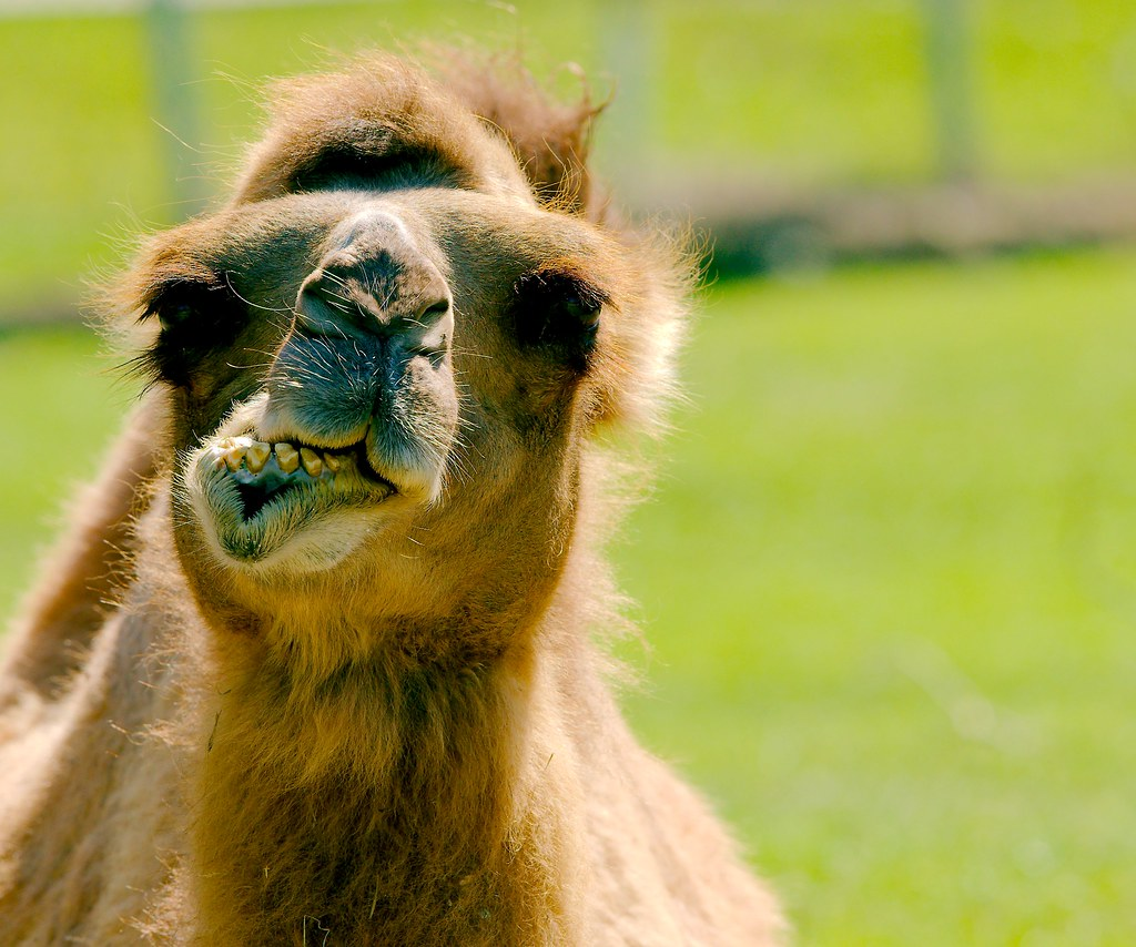 Bactrian Camel_43