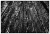 Pine trees by LtDrogo