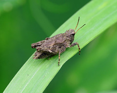 Common Groundhopper - Tetrix undulata