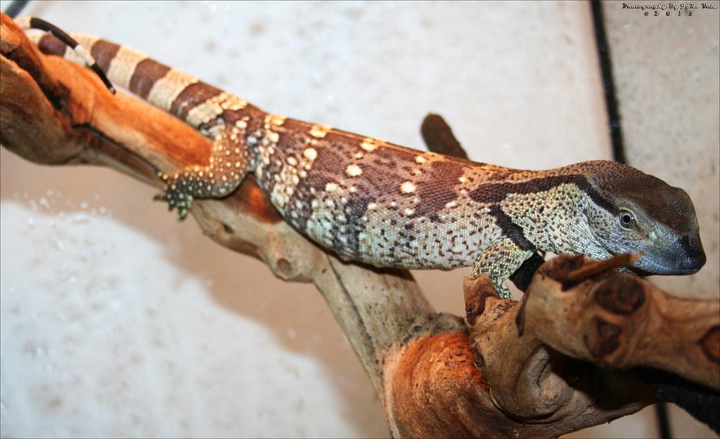 9122015 Varanus Albigularis Albigularis Cape Banded Whit Flickr
