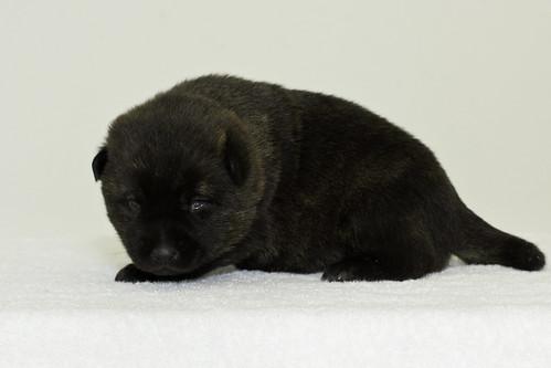 Nori-Litter3-Day17-Pup3(male)c