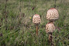 Tripple Mushrooms by Pascal vd Wassenberg