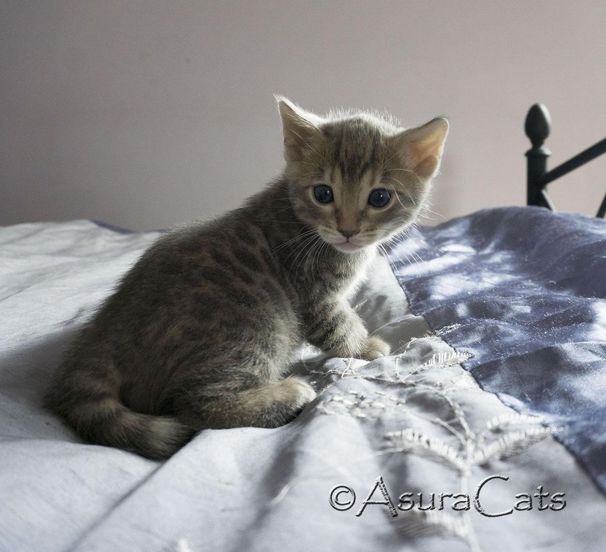 Blue rosetted Bengal kitten - AsuraCats Drogo