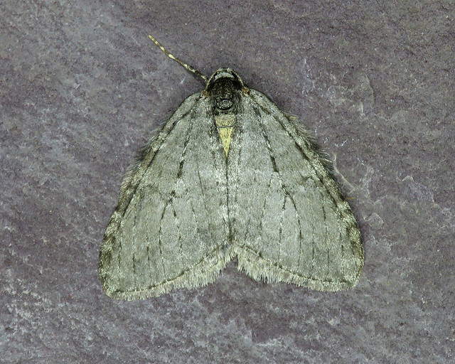 70.107 November Moth - Epirrita dilutata agg.