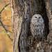 Autumnal Ural Owl by Stu Price