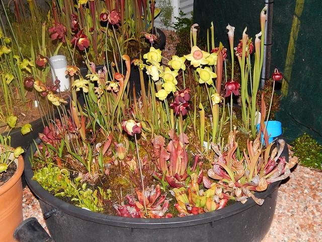 Sarracenia garden - hybrids