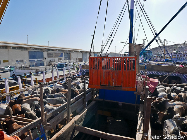 Unloading cattle