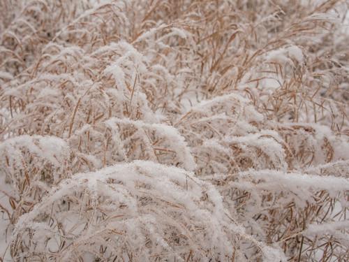 ca plants canada nature grass frost saskatoon saskatchewan