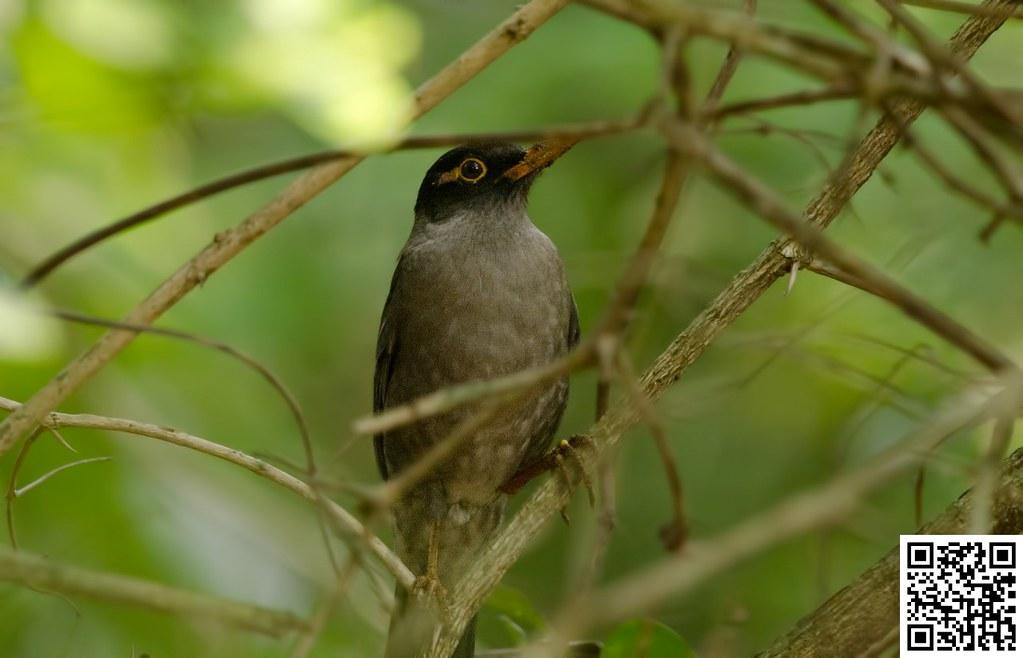 Indian Blackbird [Mirlo Común]