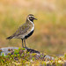 golden-plover by Corey Hayes