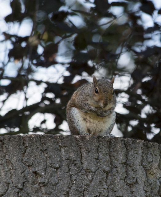 Grey squirrel, Canon EOS 70D, Canon EF 70-300mm f/4-5.6 IS USM