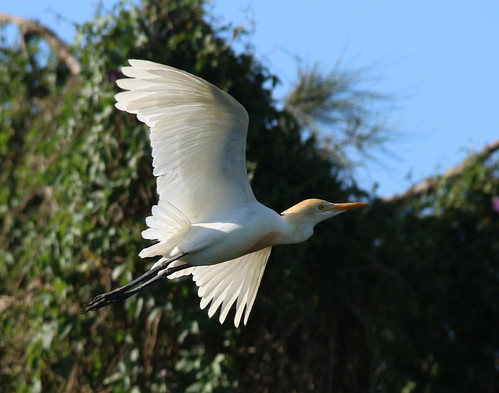 Plumage studies: Eastern Cattle Egret