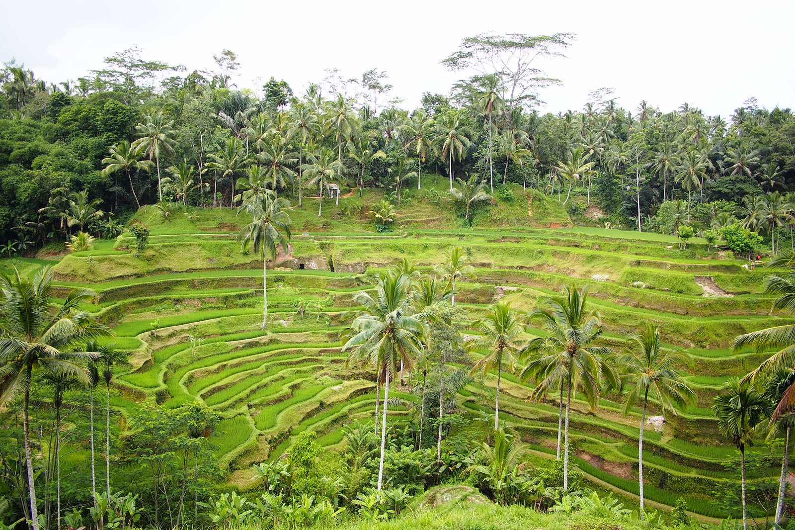 View of the Tegalalang rice terrace in Ubud Bali