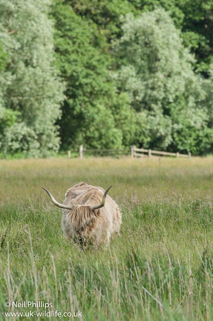 Highland cow_