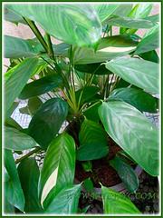 Plant profile of our Ctenanthe pilosa 'Golden Mosaic' (Golden Variegated Ctenanthe), Aug 17 2015