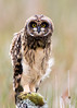 Short Eared Owl, juvenile