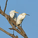 Great and Snowy Egrets by b88harris
