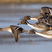 Pintail - Anas acuta by normanwest4tography