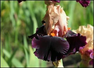 Iris Ocelot (1)