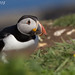Puffin by Bishopbriggs and Glasgow Wildlife