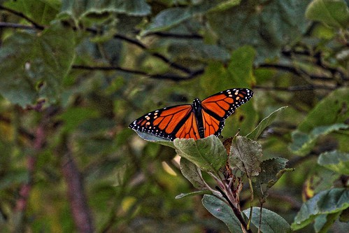 IMG_6162a_Monarch_Butterfly