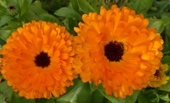 A Pair of Marigolds