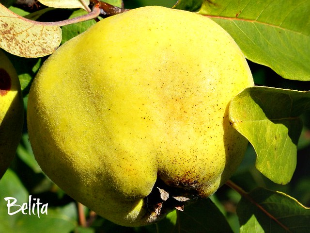 AUTUM FOOD - QUINCE