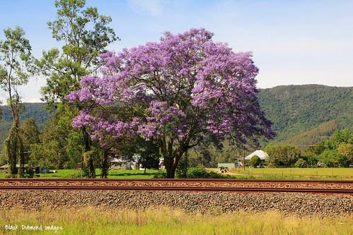 Jacaranda mimosifolia & Goods Train on North Coast Railway Line, Nowendoc Road, Mt George, Manning Valley, NSW
